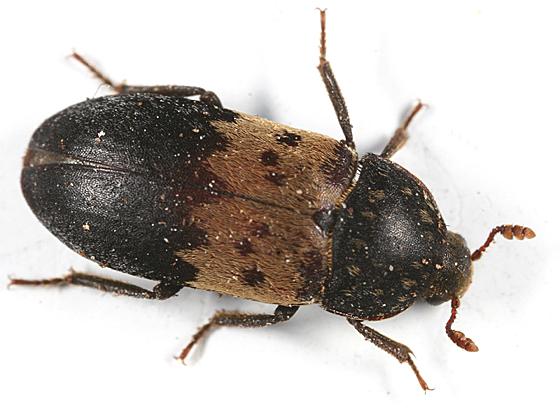 coleoptero