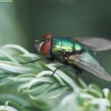 mosca familia Calliphoridae