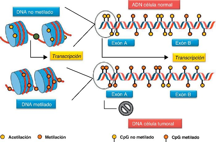 El esquema ilustra la supresión y la activación de un gen mediante metilación y acetilación respectivamente.