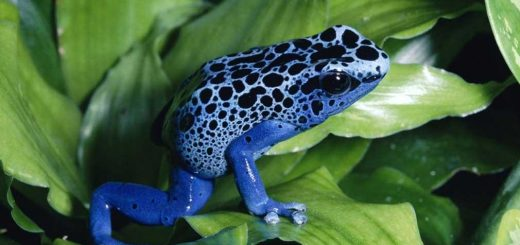Los-animales-más-venenosos-del-mundo-y-también-los-más-peligrosos-Rana-de-dardo-venenosa